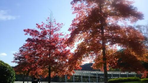DSC 3746 500x281 花フェスタ記念公園「秋のバラ祭り2017」駐車場情報も♪