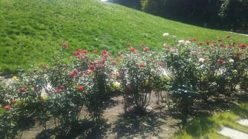 DSC 3750 500x281 花フェスタ記念公園「秋のバラ祭り2017」駐車場情報も♪