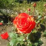 花フェスタ記念公園「秋のバラ祭り2017」駐車場情報も♪