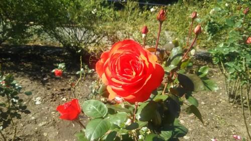 DSC 3753 500x281 花フェスタ記念公園「秋のバラ祭り2017」駐車場情報も♪