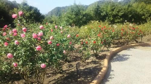 DSC 3754 500x281 花フェスタ記念公園「秋のバラ祭り2017」駐車場情報も♪