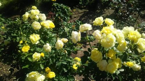 DSC 3755 500x281 花フェスタ記念公園「秋のバラ祭り2017」駐車場情報も♪