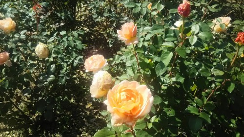 DSC 3757 500x281 花フェスタ記念公園「秋のバラ祭り2017」駐車場情報も♪