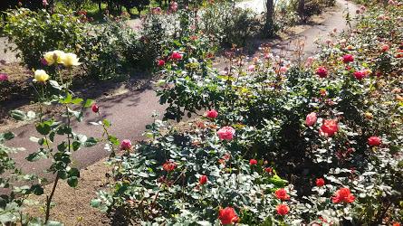 DSC 3777 花フェスタ記念公園「秋のバラ祭り2017」駐車場情報も♪