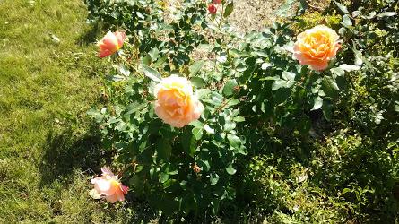 DSC 3778 花フェスタ記念公園「秋のバラ祭り2017」駐車場情報も♪