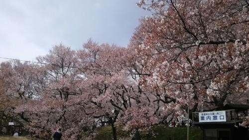 DSC 5106 500x281 高遠城址公園の桜が満開で見頃!桜雲橋は夢のよう♡駐車場情報あり