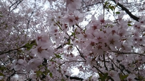 DSC 5118 500x281 高遠城址公園の桜が満開で見頃!桜雲橋は夢のよう♡駐車場情報あり