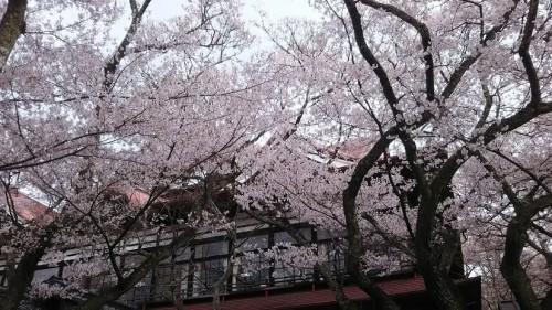 DSC 5119 500x281 高遠城址公園の桜が満開で見頃!桜雲橋は夢のよう♡駐車場情報あり