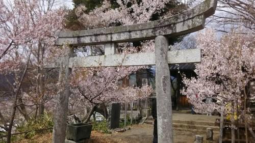 DSC 5133 500x281 高遠城址公園の桜が満開で見頃!桜雲橋は夢のよう♡駐車場情報あり