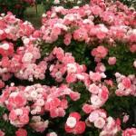 花フェスタ記念公園2018バラが見頃で満開の春のバラまつり♡