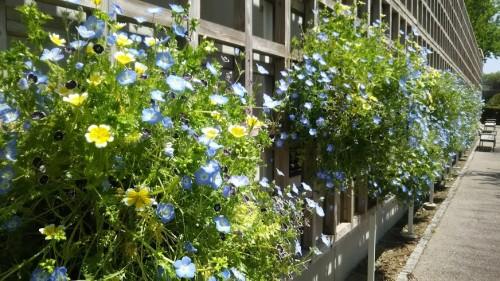 DSC 5270 500x281 4月の花フェスタ記念公園はネモフィラ畑が幻想的☆【画像あり】