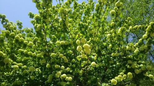 DSC 5271 500x281 4月の花フェスタ記念公園はネモフィラ畑が幻想的☆【画像あり】