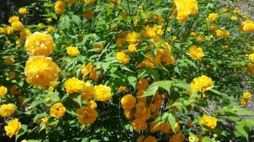 DSC 5272 500x281 4月の花フェスタ記念公園はネモフィラ畑が幻想的☆【画像あり】