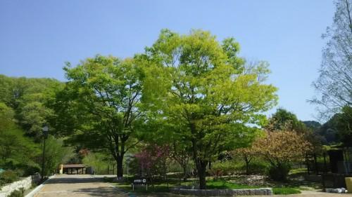 DSC 5275 500x281 4月の花フェスタ記念公園はネモフィラ畑が幻想的☆【画像あり】