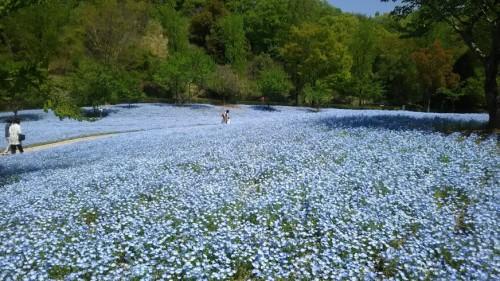 DSC 5276 500x281 4月の花フェスタ記念公園はネモフィラ畑が幻想的☆【画像あり】