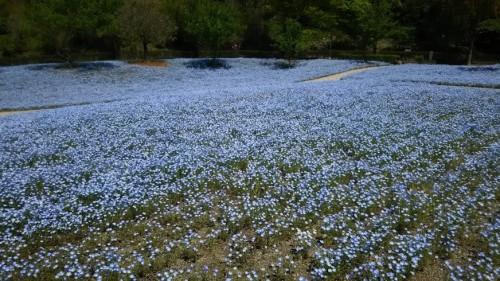 DSC 5279 500x281 4月の花フェスタ記念公園はネモフィラ畑が幻想的☆【画像あり】