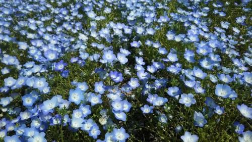 DSC 5280 500x281 4月の花フェスタ記念公園はネモフィラ畑が幻想的☆【画像あり】