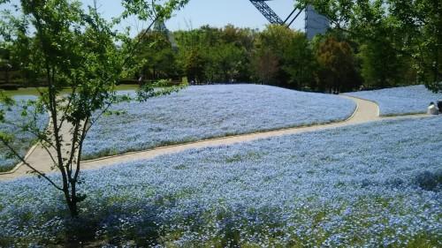 DSC 5284 500x281 4月の花フェスタ記念公園はネモフィラ畑が幻想的☆【画像あり】