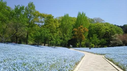 DSC 5286 500x281 4月の花フェスタ記念公園はネモフィラ畑が幻想的☆【画像あり】