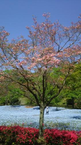 DSC 5287 282x500 4月の花フェスタ記念公園はネモフィラ畑が幻想的☆【画像あり】