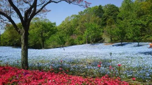 DSC 5288 500x281 4月の花フェスタ記念公園はネモフィラ畑が幻想的☆【画像あり】